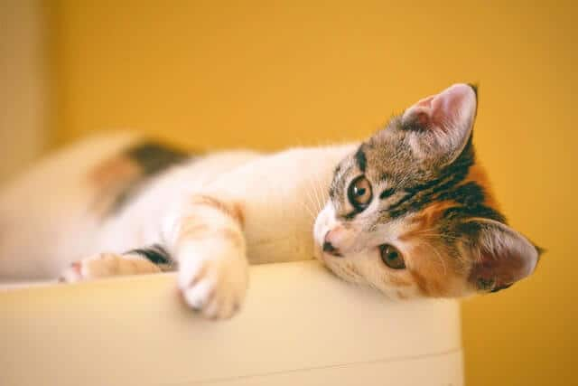 calico-kitten-lying-on-the-white-wooden-surface-1404826 (1)
