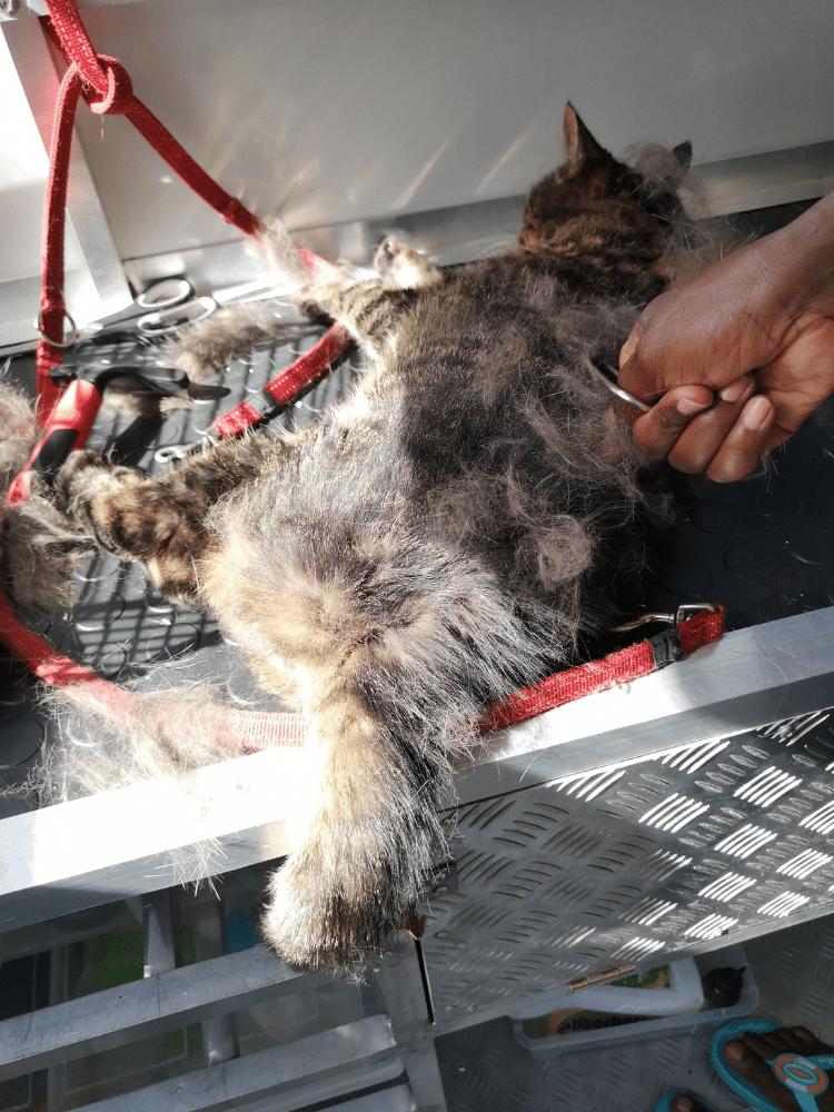 Cat shedding brushing