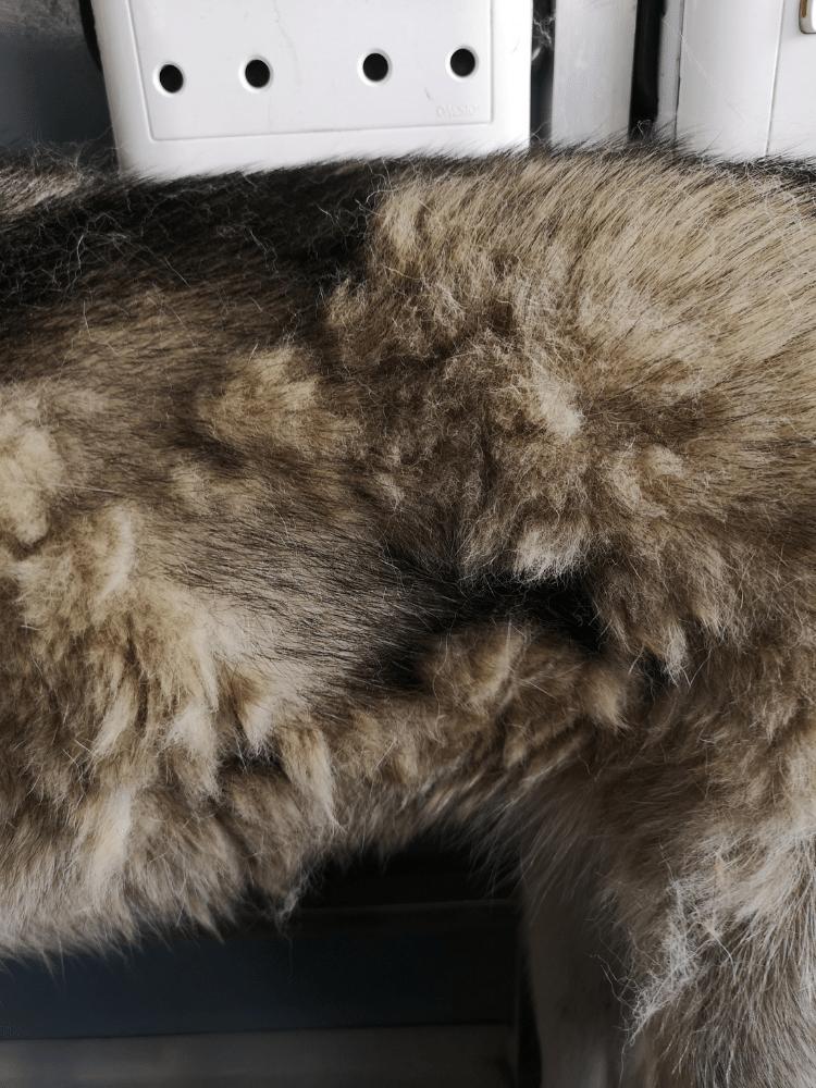 Husky shedding matted