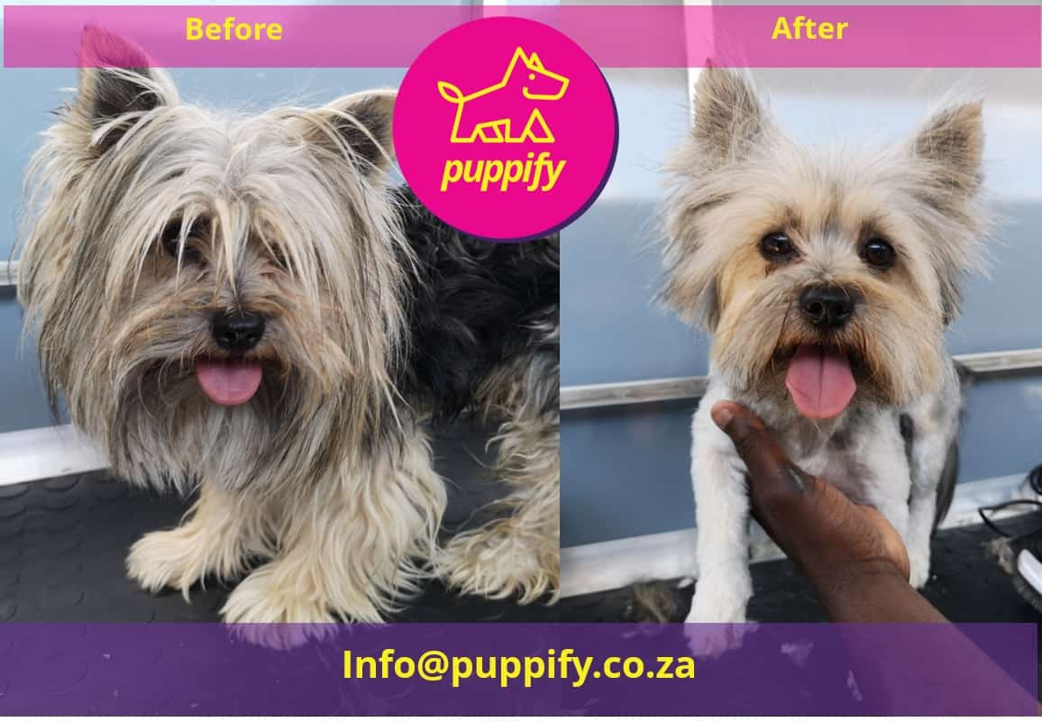 yorkie before after transformation