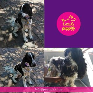Spaniel shaved and mattes removed
