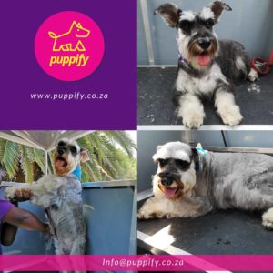 Schnauzer dog groom including style cut and wash and brush