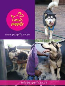 husky grooming and deshedding, dog grooming