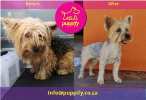 Yorkie before and after groom transformation