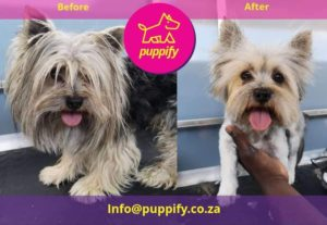 Yorkie grooming showing before and after shaving transformation