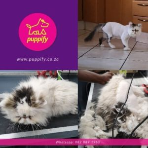 Persian cat grooming and shave and matte removal